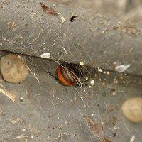奈良県広陵町住宅前で越冬しているセアカゴケグモ