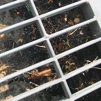 奈良県広陵町の住宅前側溝 セアカゴケグモの大きな巣