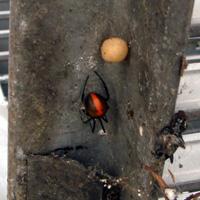 奈良県広陵町の住宅前側溝でのセアカゴケグモ