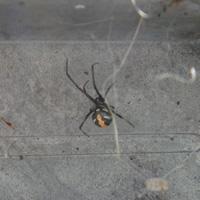 大阪府富田林市の住宅前側溝でのセアカゴケグモ