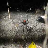 大阪府八尾市コンビニエンスストア駐車場で見つけたセアカコケグモ