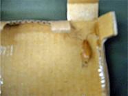 コロニートラップ 使用例6 [害虫駆除、ゴキブリ、クロゴキブリ、チャバネゴキブリ、幼虫、卵、種類、対策、駆除方法、粘着トラップ、調査]