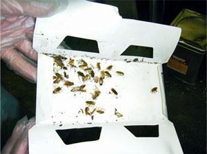 ゴキブリトラップ/ゴキブリトラップS 使用方法 害虫駆除、ゴキブリ、クロゴキブリ、チャバネゴキブリ、幼虫、卵、種類、対策、撃退、駆除方法、粘着トラップ、調査、防水