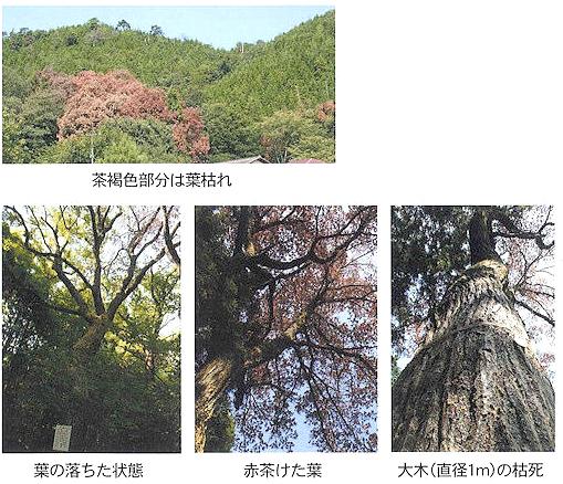 カシナガブロック 被害木の状況 [林業、園芸、農業、ナラ枯れ対策、カシノナガキクイムシ]